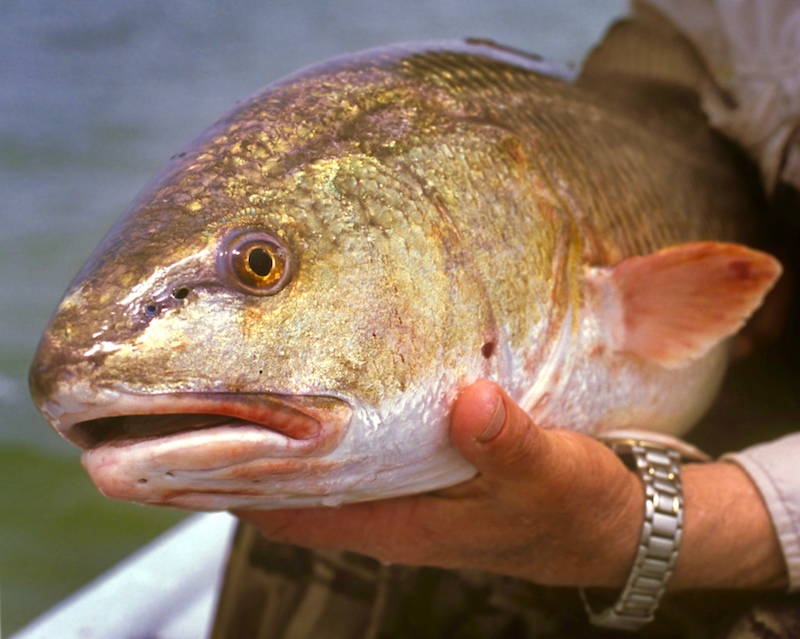 Bull Redfish Closeup showing gold head and back, pink mouth and fins.