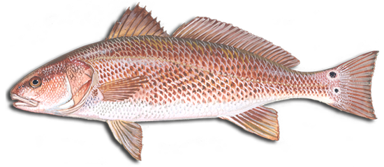 Redfish scientific drawing showing the characteristics of redfish.
