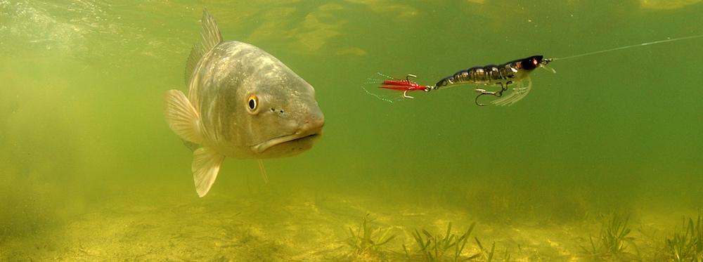 Redfish stalking big artificial lure through water.