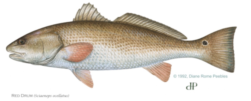 Redfish anatomically correct and high definition drawing.