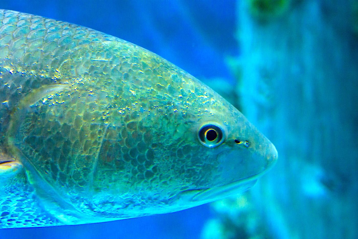 Redfish underwater in a large fishtank.