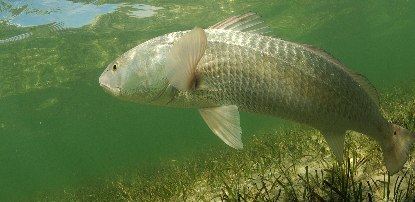 Red drum floating through the water waiting for prey.
