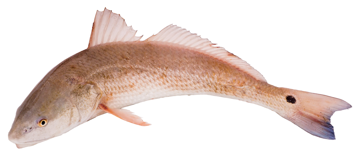 Red Drum with pink orange color on white background