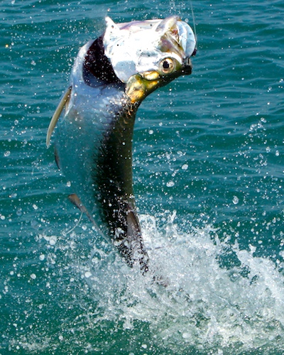 Atlantic tarpon hooked on line, jumping out of ocean near tarpon fishing boat.