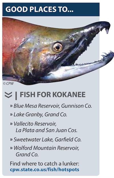 Best spots for finding Kokanee (Sockeye) Salmon in Colorado.