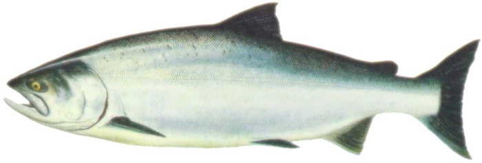 Ocean Chinook salmon identification graphic for saltwater phase showing morphology and color.