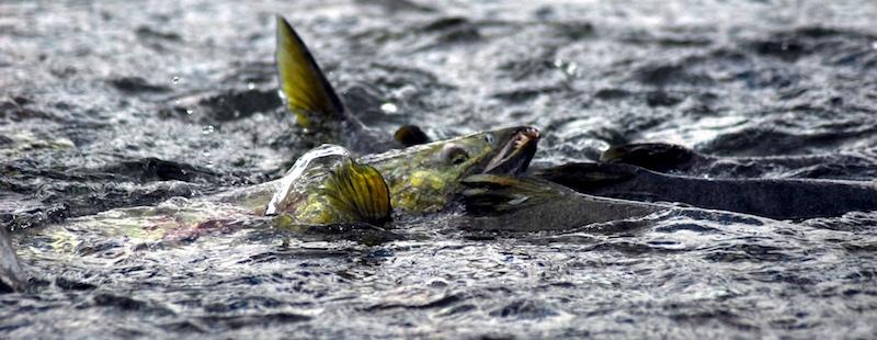 Chum salmon spawning run in freshwater stream.