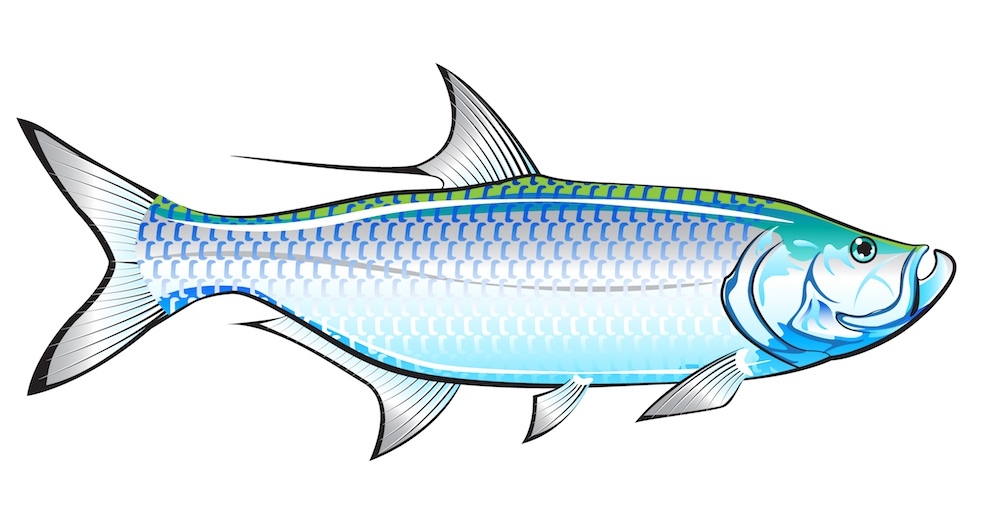 Tarpon identification graphic shows key features of Tarpon fish - Megalops atlanticus.