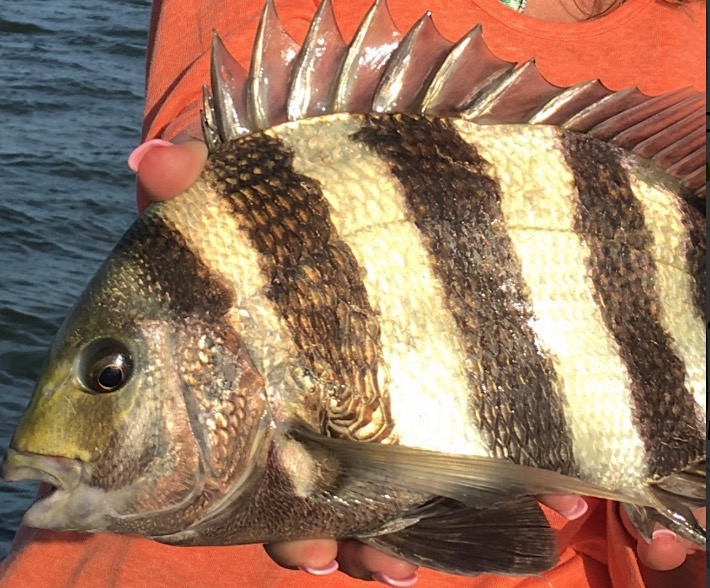 How to Catch Florida Sheepshead Fish - Guide | SALTY101Saltwater Sheepshead Fish Good To Eat
