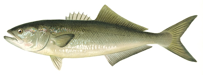 Florida bluefish with brown and blue on the dorsal area, dorsal and ventral fins about same size.