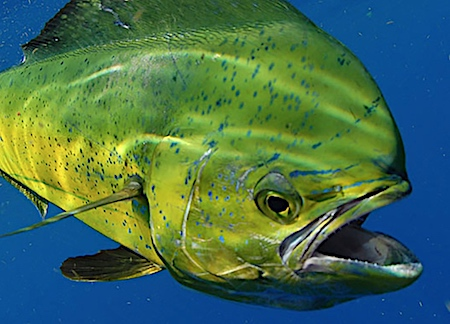Big bull mahi-mahi fish in Bradenton, Florida.