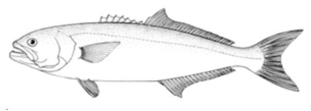 Bluefish anatomically correct drawing.