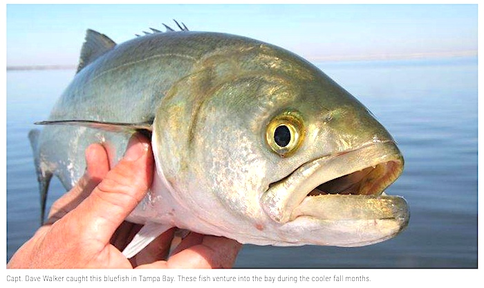Bluefish caught in Tampa Bay by a fish guide and featured in the Tampa newspaper.