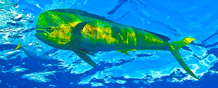 Large male mahi-mahi fish in southern Florida.