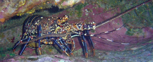 A colorful spiny lobster on ocean floor in Florida.