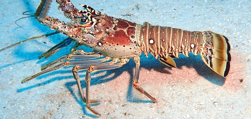 A big Florida spiny lobster on the Atlantic ocean floor.